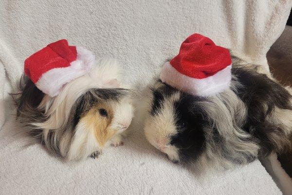 Chollacott House - Christmas Guinea Pigs